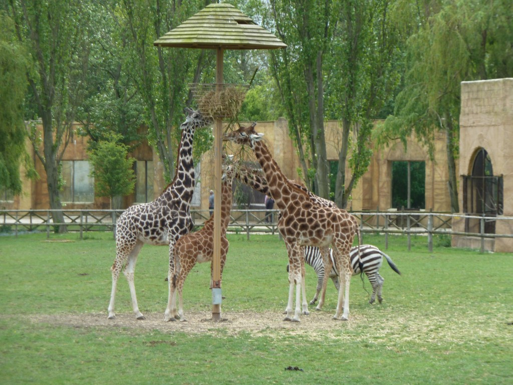 Giraffes at Flamingo land