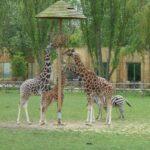 Giraffes at Flamingo land