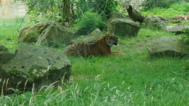 Tiger at Flamingo land