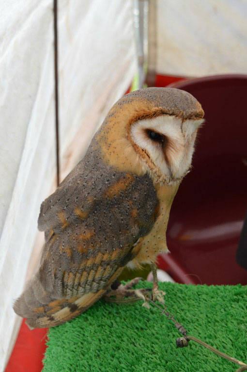 A brown breasted barn owl