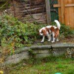 Dog guarding garden