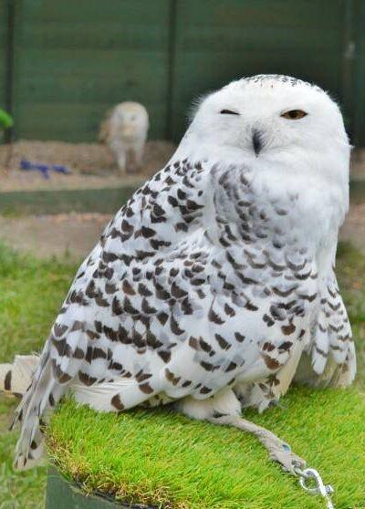 Snowly owl
