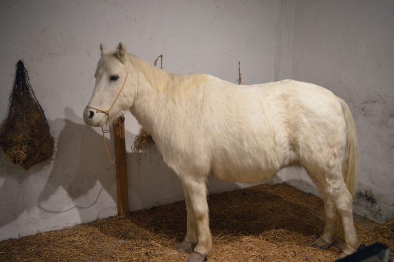 A horse in the reconstructed barracks at Segedunum