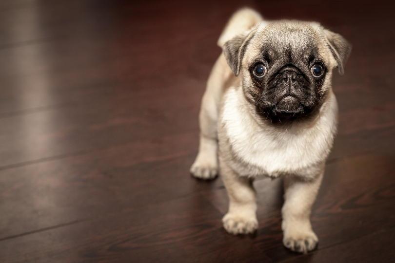 Pug on floor looking up