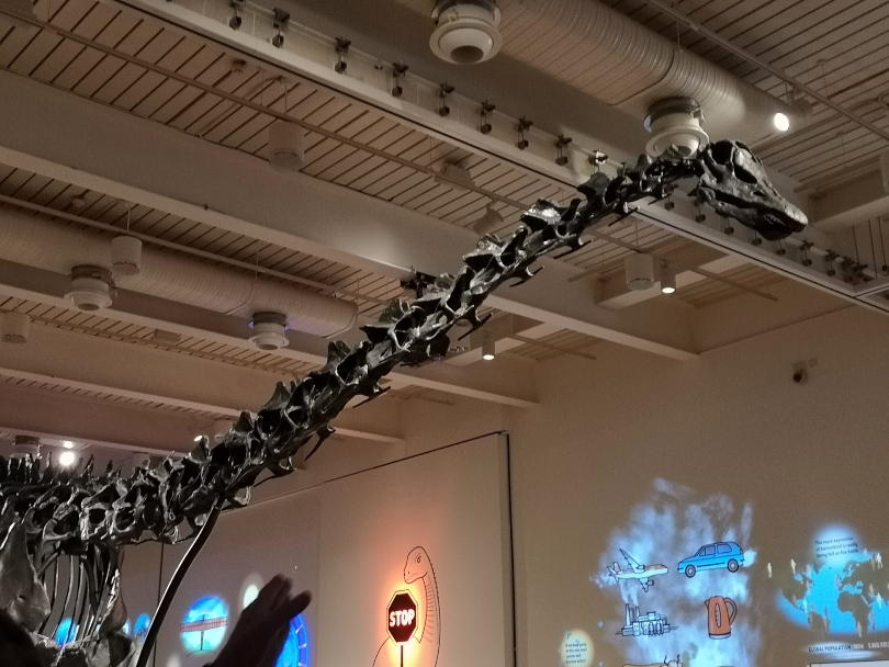 Dippy the diplodocus head while he is at Great North Museum