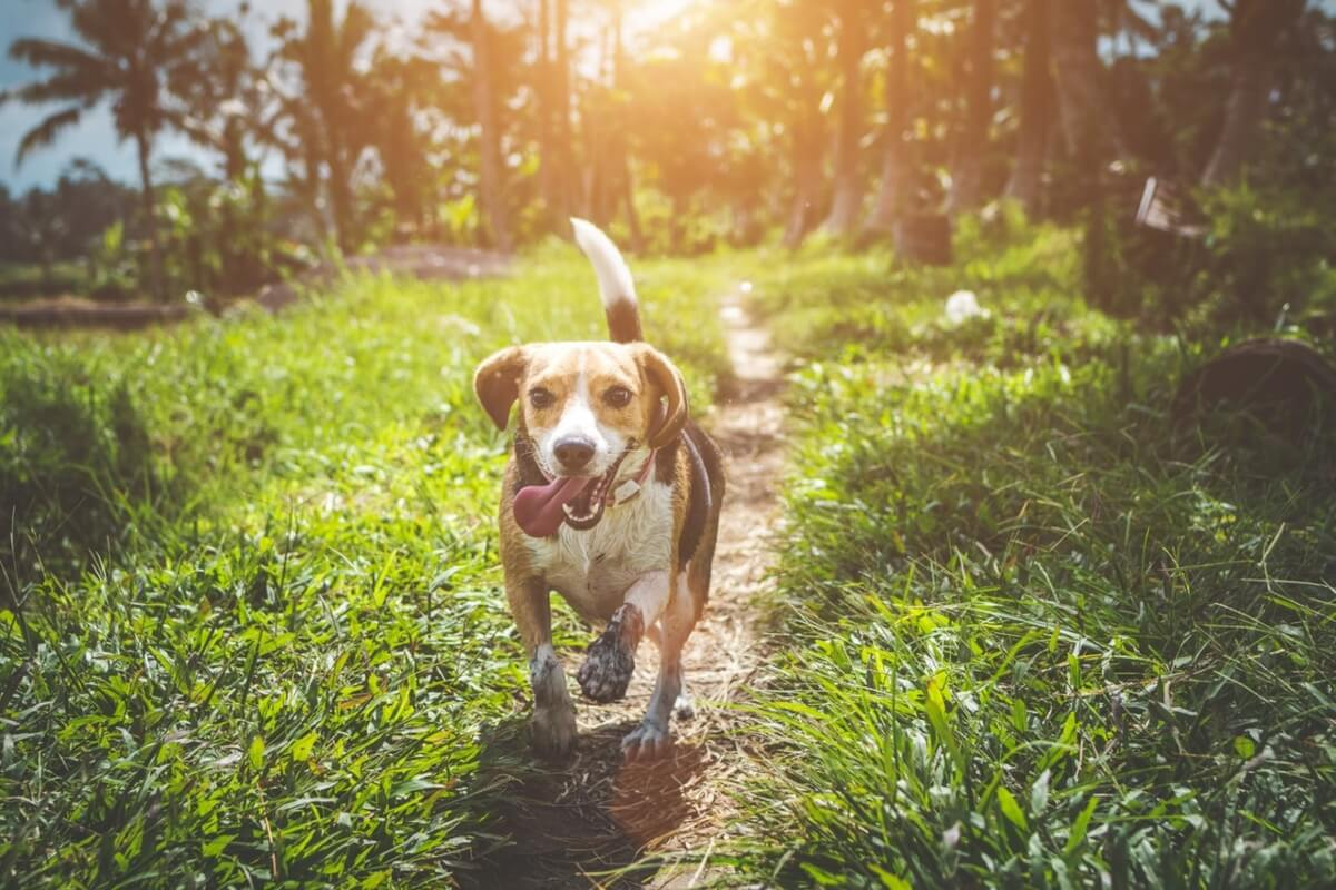 Adult beagle walking on grass