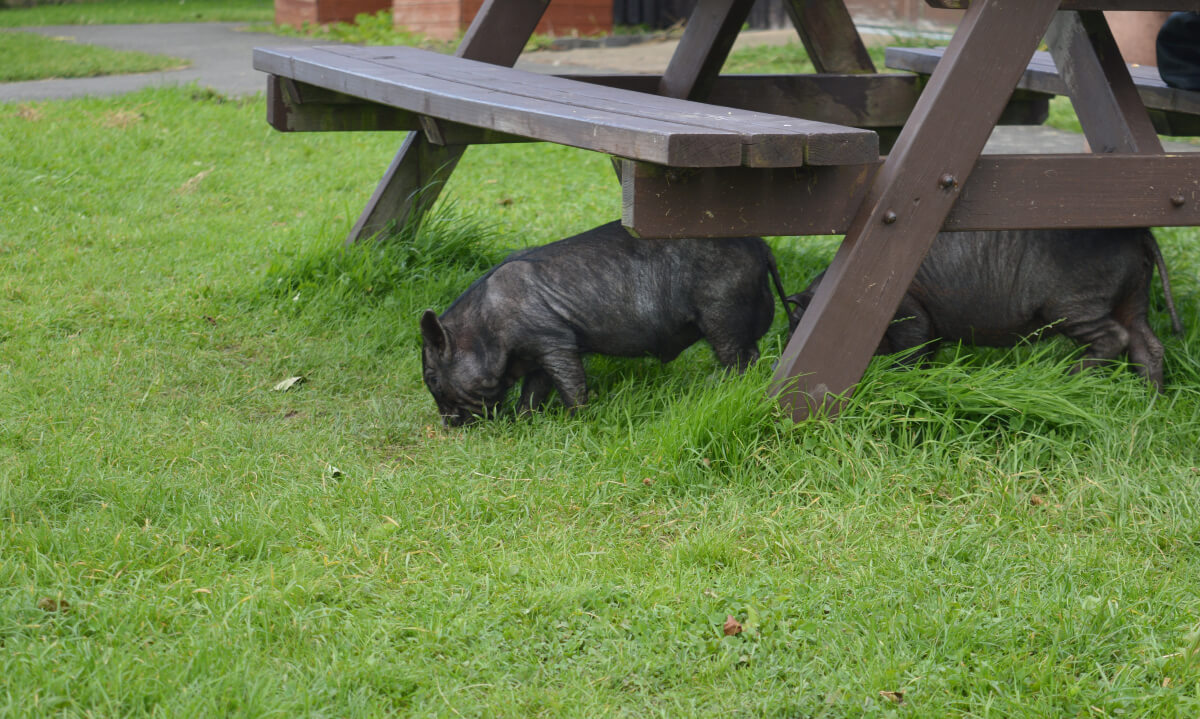 Black piglets under a picnic bench