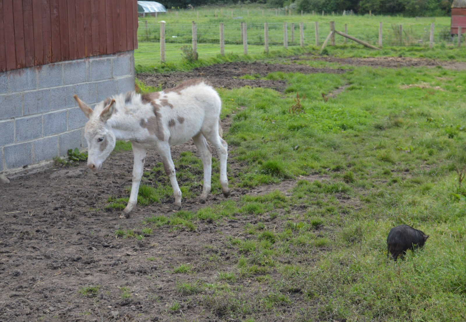 A white donkey with brown spots in a field with a black piglet beside it